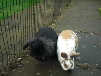 RABBIT X 2 FREE TO GOOD HOME