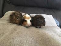 Baby male guinea pigs