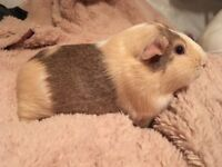 2 year old male guinea pig with cage and accessories