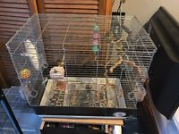 4 Gloster Canaries, cage + accessories.