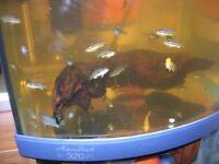 MALAWI BABY CICHLIDS TROPICAL FISH