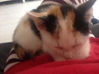 Beautiful torti female kitten for sale