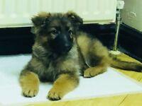 Beautiful German Shepherd Puppies 1 beautiful girl and 1 male left