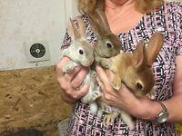 Mini Rex babies
