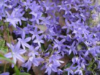 Garden Plants CAMPANULA (Blue Bellflower) Hardy, bee friendly perennial. £2 a pot