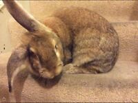 Gorgeous 3 1/2 year old very large female rabbit - free