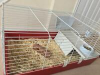 Male guinea pig & new cage