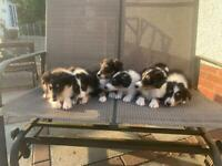🐶Beautiful Rough Collie Pups Looking For Their Forever Home🐶