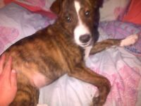 Puppy Collie cross For Sale!!! needs QUICK rehoming. READ INFO