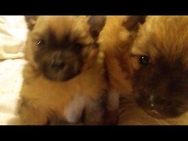 Pedigree Pomeranians