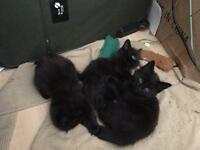 Fluffy long haired kittens all black ! ONLY 1 Male and 1 female left