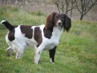 English or Welsh Springer Spaniel