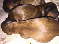 Shipoo pups born last night, stunning colours