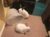 2 Himalayan Rabbits. FREE to good home