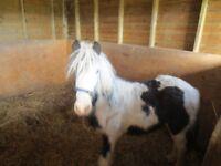 Gypsy Cob Horse