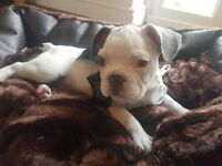 French bulldog puppies kc reg