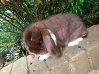Mini Lop Rabbit 1 years old Male Neuted Litter Trained