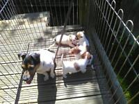 Chihuahua cross jack Russell pups