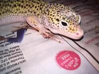 2x leopards geckos and vivarium