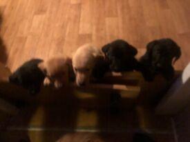5 Labrador puppies