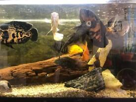 Fish for sale (Oscars, Parrots, flowerhorn, Severum)