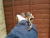 Male royal python for sale