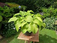 "MATURE POTTED HOSTA PLANT ""AUGUST MOON"""