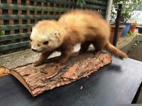 Taxidermy Weasel / Stoat - Good Condition - Reduced