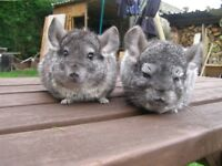 chinchillas for sale £25 each