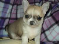male and female home bred chihuahua puppies