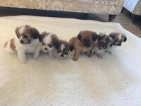 6 x Adorable shih tzu x chihuahua pups