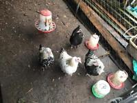 Chickens for sale hybrid cock pullet