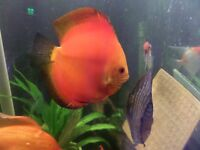 22 Discus Fishes on sale