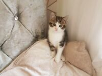 1 Tabby girl kitten last one