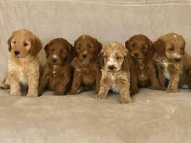 Stunning PRA clear cockapoo puppies for sale