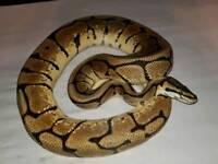 Adult male phantom spider royal python/ snake