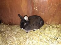 Two Three Month Old Cross Breed Male Rabbits for sale