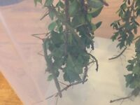 Adult stick insects, their babies and their home. FREE!