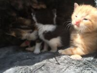 6 stunning mixed kitten ginger tortoiseshell white black brown kittens ready in 4 wks
