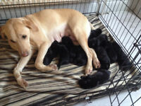 Male Black Labrador Puppy - Ready to Leave Now £575