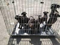 Patterdale X Cocker spaniel puppies
