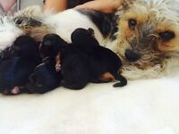 Chorkie puppies ready to go in 7 weeks mum can be seen