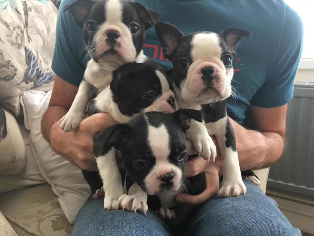 Boston Terrier Puppies For Sale In Exeter Devon Gumtree