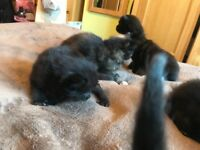 Kittens - gorgeous, playful and good mannered. Ready to leave Mum from 13 August