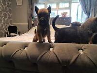 8 week old chezch line german shepherd puppys for sale