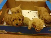 Red / Parti toy poodles for sale