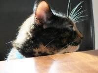 3yo Tortoise shell cat.