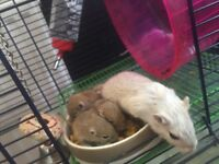 Baby gerbils for sale