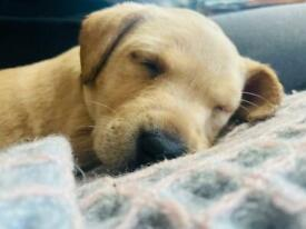 KC Registered Labrador Puppies Available