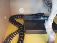 Carpet python complete with viv and full set up